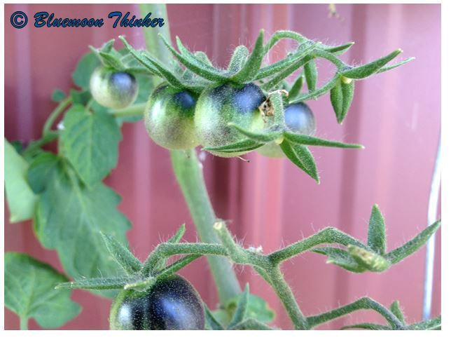 Blueberry Tomatoes